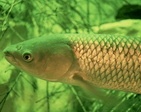 Amur(Ctenopharyngodon idella Cuv. et Val.)