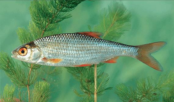 Bodorka(Rutilus rutilus L.)