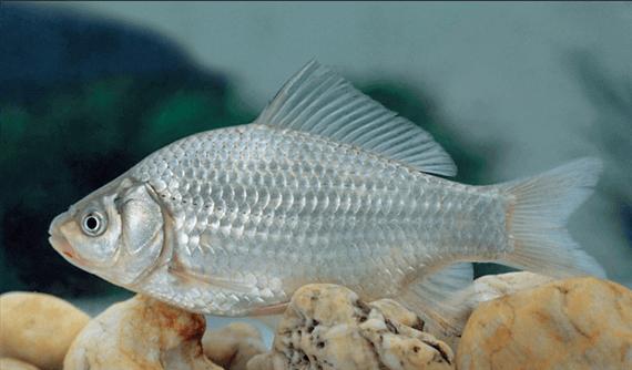 Ezüstkárász(Carassius auratus gibelio Bloch)
