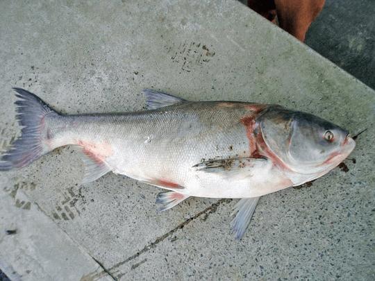 Fehér busa(Hypophthalmichthys molitrix Cuv. et Val.)