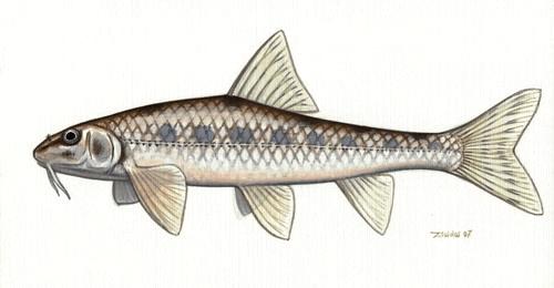 Halványfoltú küllő(Gobio albipinnatus vladykovi)