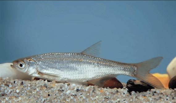 Szélhajtó küsz(Alburnus alburnus L.)