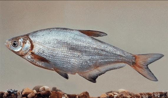 Lapos keszeg(Abramis ballerus L.)