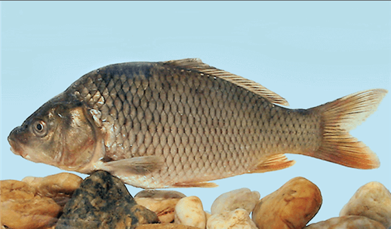Ponty(Cyprinus carpio L.)