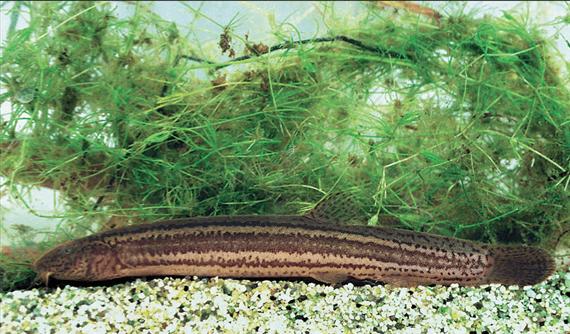 Réticsík(Misgurnus fossilis L.)