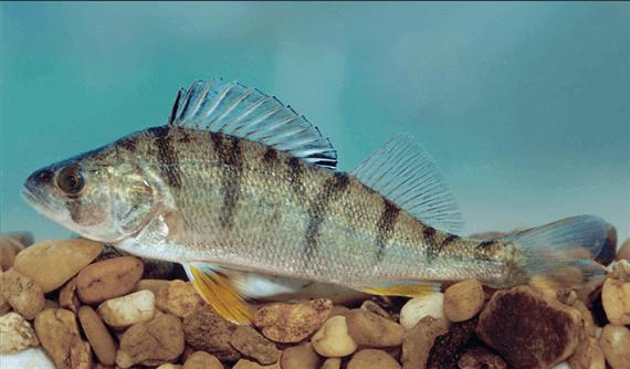 Sügér(Perca fluviatilis L.)