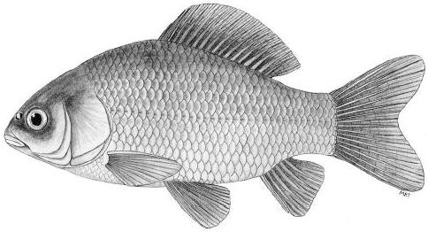 Kárász(Carassius carassius L.)