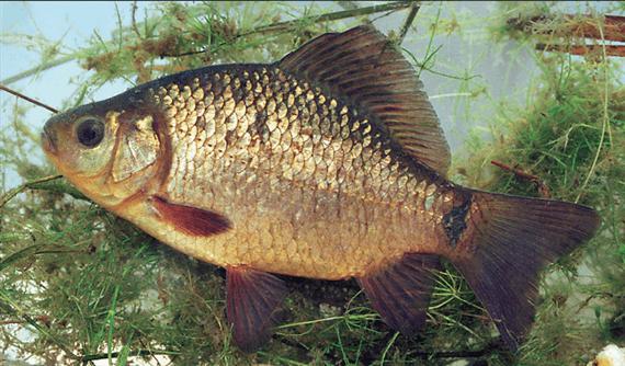 Széles Kárász(Carassius carassius L.)