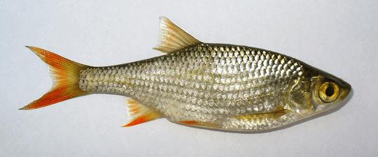Vörösszárnyú keszeg (Scardinius erythrophthalmus L.)
